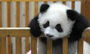 Baby-Panda-Born-at-Chengd-006